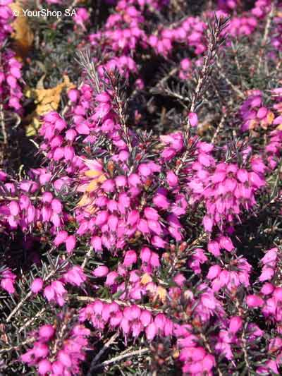 Violet thorn bush yourshop violet thorn bush mightylinksfo